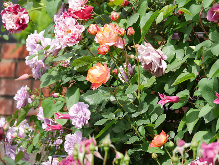 ソレイユロマンティカ(Soleil Romantica)の花がたくさん咲いた。ツルバラ。2021年-139.jpg