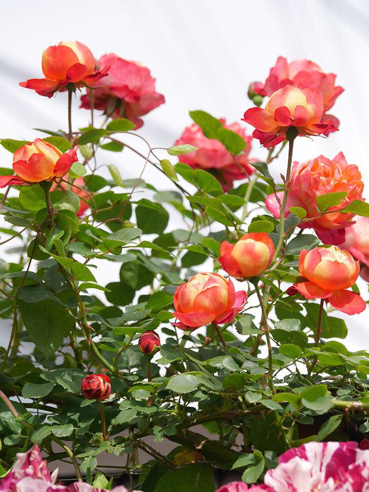 ソレイユロマンティカ(Soleil Romantica)の花がたくさん咲いた。ツルバラ。2021年-141.jpg
