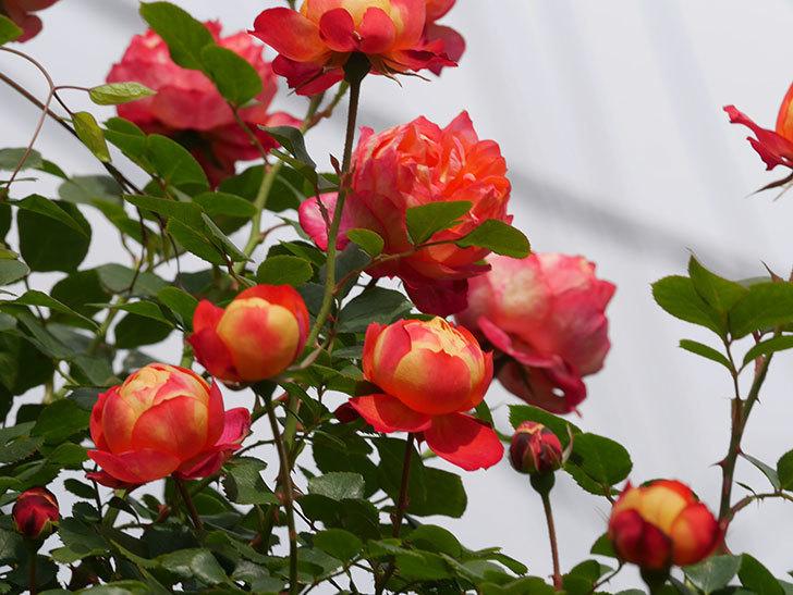 ソレイユロマンティカ(Soleil Romantica)の花がたくさん咲いた。ツルバラ。2021年-142.jpg