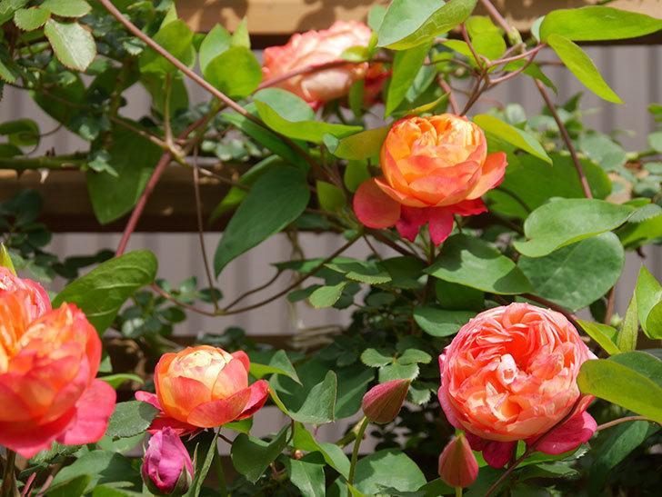 ソレイユロマンティカ(Soleil Romantica)の花がたくさん咲いた。ツルバラ。2021年-143.jpg