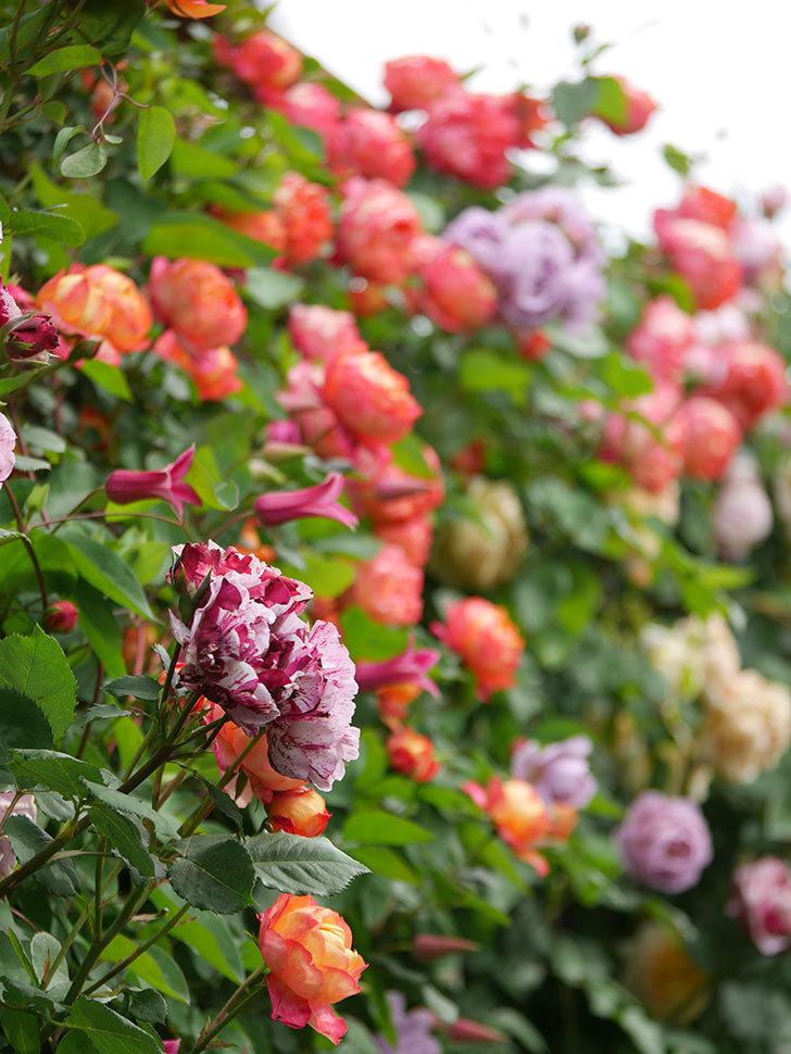 ソレイユロマンティカ(Soleil Romantica)の花がたくさん咲いた。ツルバラ。2021年-145.jpg