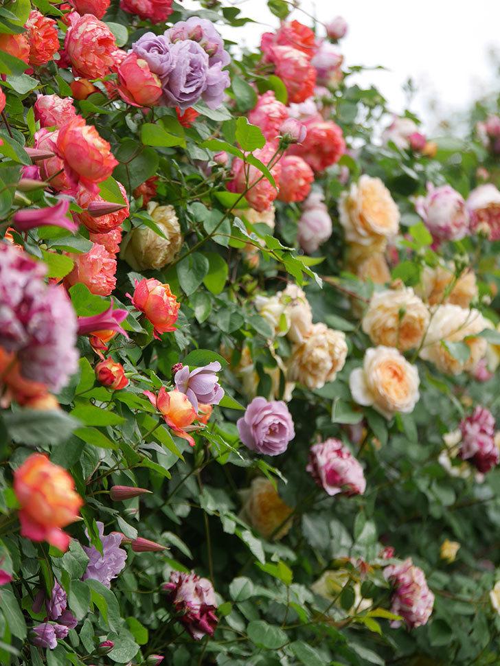 ソレイユロマンティカ(Soleil Romantica)の花がたくさん咲いた。ツルバラ。2021年-146.jpg
