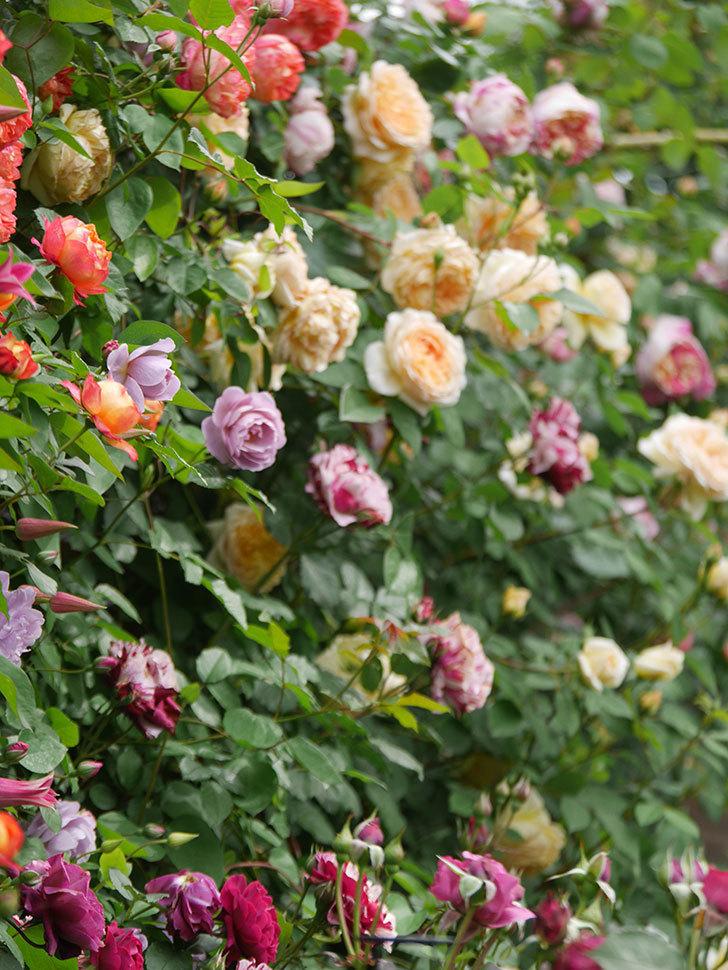 ソレイユロマンティカ(Soleil Romantica)の花がたくさん咲いた。ツルバラ。2021年-147.jpg