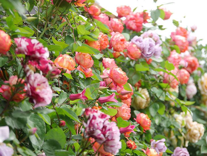 ソレイユロマンティカ(Soleil Romantica)の花がたくさん咲いた。ツルバラ。2021年-148.jpg