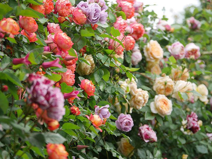 ソレイユロマンティカ(Soleil Romantica)の花がたくさん咲いた。ツルバラ。2021年-149.jpg
