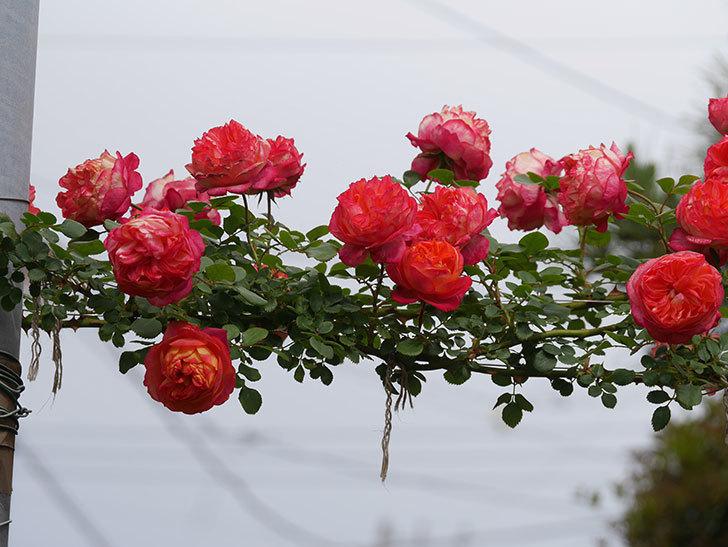 ソレイユロマンティカ(Soleil Romantica)の花がたくさん咲いた。ツルバラ。2021年-151.jpg