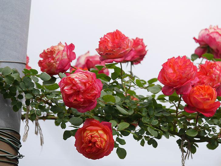 ソレイユロマンティカ(Soleil Romantica)の花がたくさん咲いた。ツルバラ。2021年-152.jpg
