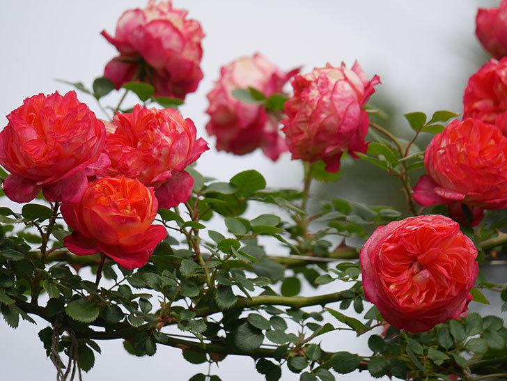 ソレイユロマンティカ(Soleil Romantica)の花がたくさん咲いた。ツルバラ。2021年-154.jpg