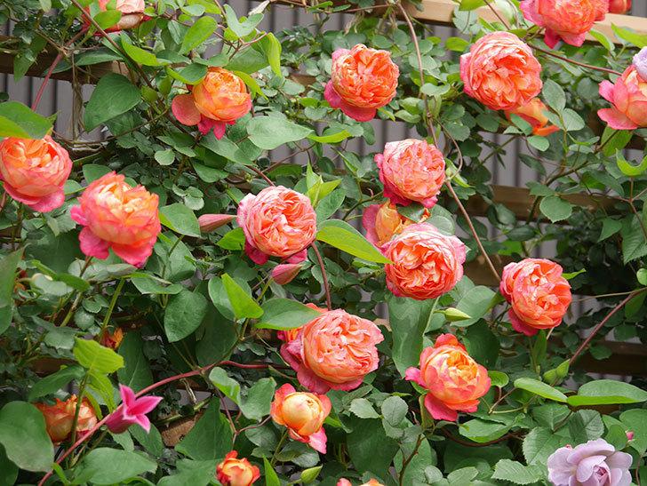 ソレイユロマンティカ(Soleil Romantica)の花がたくさん咲いた。ツルバラ。2021年-155.jpg