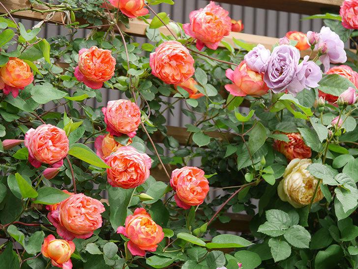 ソレイユロマンティカ(Soleil Romantica)の花がたくさん咲いた。ツルバラ。2021年-156.jpg