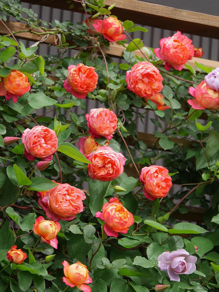 ソレイユロマンティカ(Soleil Romantica)の花がたくさん咲いた。ツルバラ。2021年-158.jpg