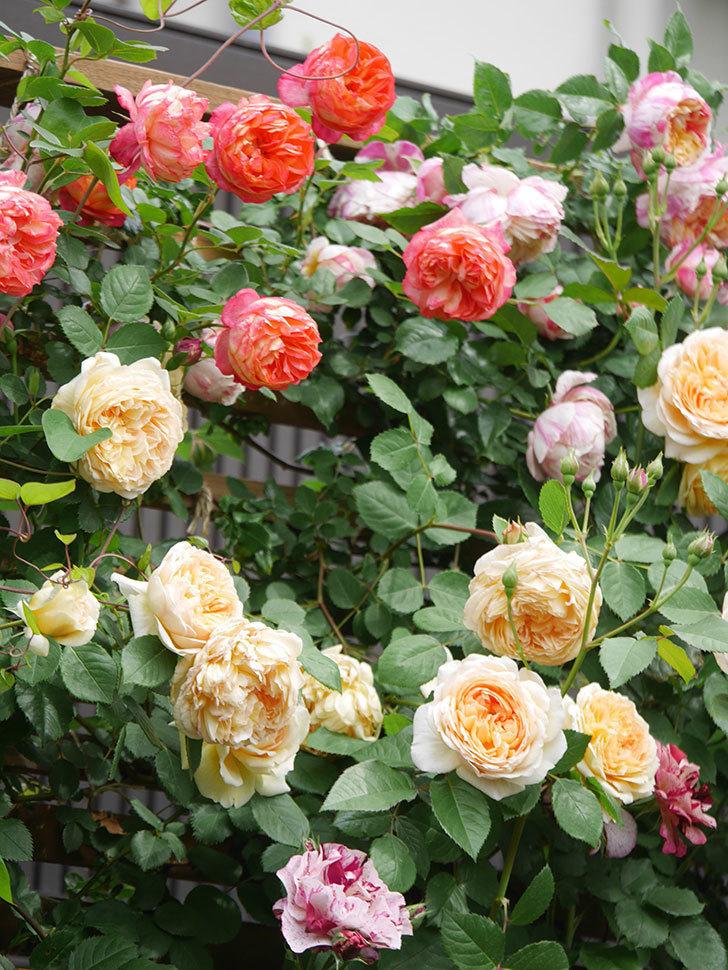 ソレイユロマンティカ(Soleil Romantica)の花がたくさん咲いた。ツルバラ。2021年-159.jpg