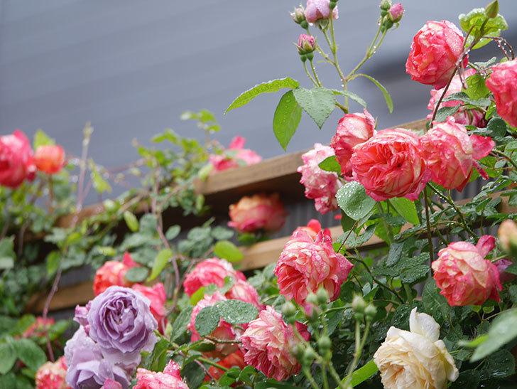 ソレイユロマンティカ(Soleil Romantica)の花がたくさん咲いた。ツルバラ。2021年-160.jpg