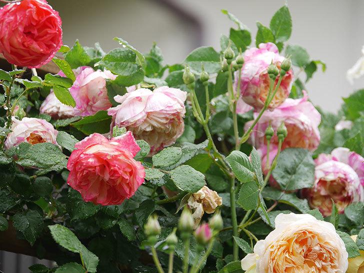 ソレイユロマンティカ(Soleil Romantica)の花がたくさん咲いた。ツルバラ。2021年-161.jpg