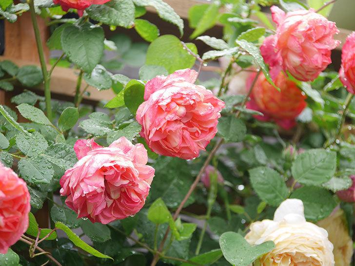 ソレイユロマンティカ(Soleil Romantica)の花がたくさん咲いた。ツルバラ。2021年-162.jpg
