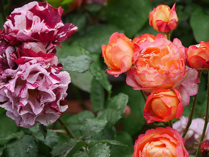 ソレイユロマンティカ(Soleil Romantica)の花がたくさん咲いた。ツルバラ。2021年-163.jpg