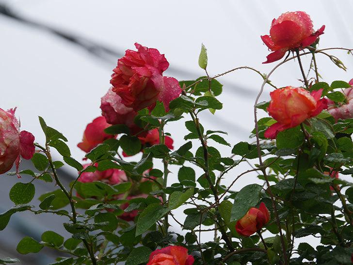 ソレイユロマンティカ(Soleil Romantica)の花がたくさん咲いた。ツルバラ。2021年-166.jpg