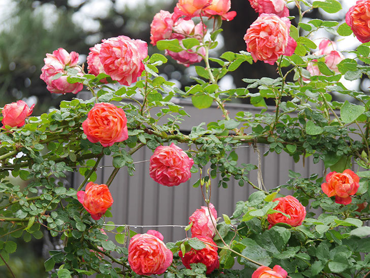 ソレイユロマンティカ(Soleil Romantica)の花がたくさん咲いた。ツルバラ。2021年-168.jpg