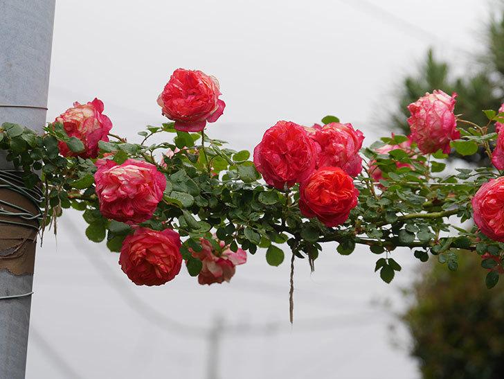 ソレイユロマンティカ(Soleil Romantica)の花がたくさん咲いた。ツルバラ。2021年-169.jpg