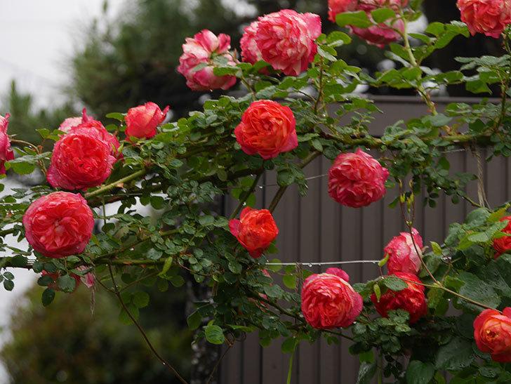 ソレイユロマンティカ(Soleil Romantica)の花がたくさん咲いた。ツルバラ。2021年-170.jpg
