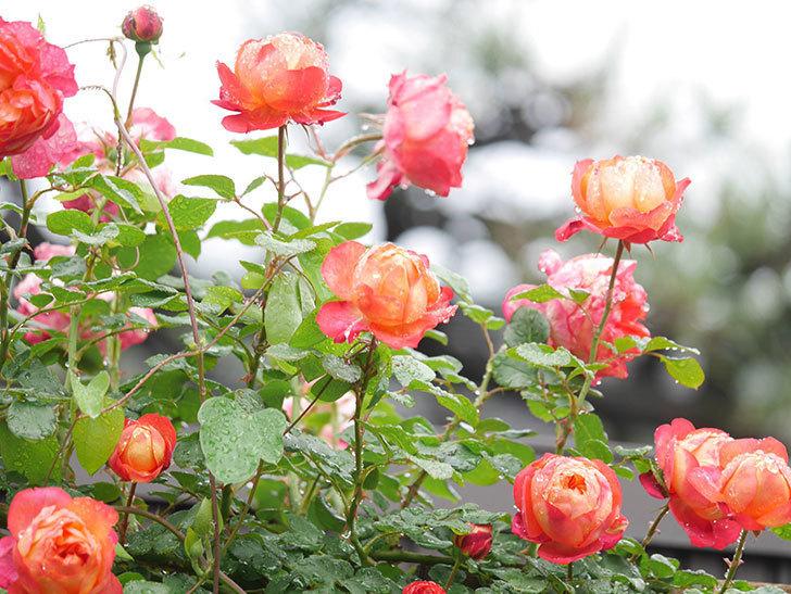 ソレイユロマンティカ(Soleil Romantica)の花がたくさん咲いた。ツルバラ。2021年-171.jpg