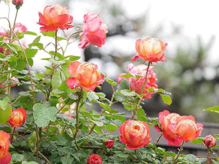 ソレイユロマンティカ(Soleil Romantica)の花がたくさん咲いた。ツルバラ。2021年-172.jpg