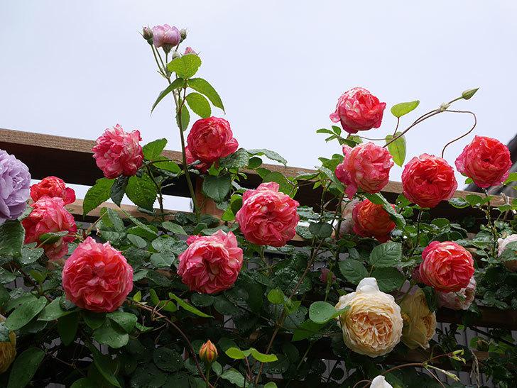 ソレイユロマンティカ(Soleil Romantica)の花がたくさん咲いた。ツルバラ。2021年-175.jpg