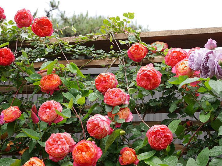 ソレイユロマンティカ(Soleil Romantica)の花がたくさん咲いた。ツルバラ。2021年-176.jpg