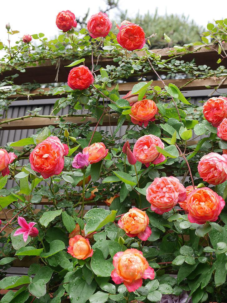 ソレイユロマンティカ(Soleil Romantica)の花がたくさん咲いた。ツルバラ。2021年-178.jpg