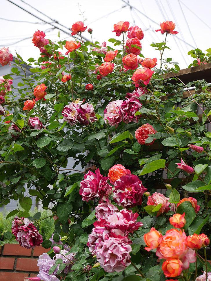 ソレイユロマンティカ(Soleil Romantica)の花がたくさん咲いた。ツルバラ。2021年-182.jpg