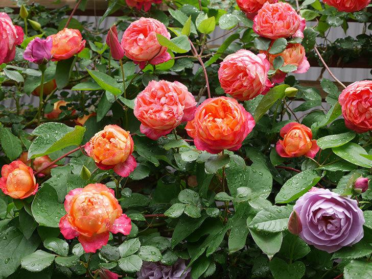 ソレイユロマンティカ(Soleil Romantica)の花がたくさん咲いた。ツルバラ。2021年-184.jpg