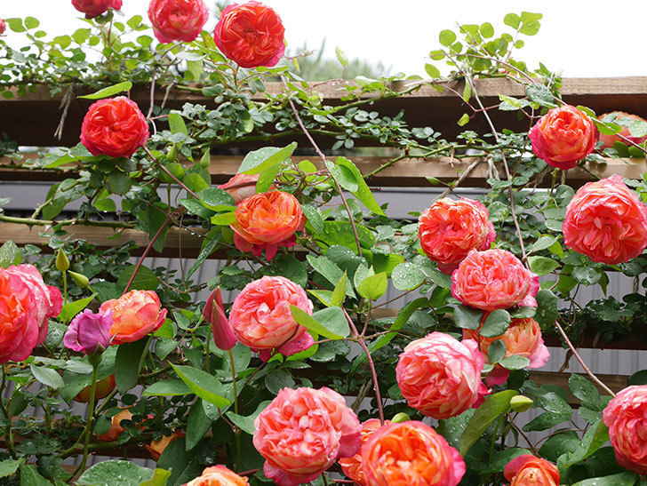 ソレイユロマンティカ(Soleil Romantica)の花がたくさん咲いた。ツルバラ。2021年-185.jpg