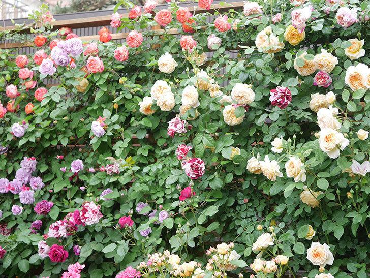 ソレイユロマンティカ(Soleil Romantica)の花がたくさん咲いた。ツルバラ。2021年-186.jpg