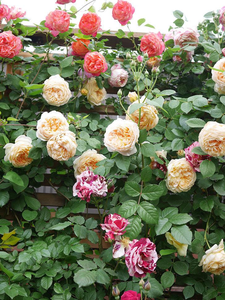 ソレイユロマンティカ(Soleil Romantica)の花がたくさん咲いた。ツルバラ。2021年-187.jpg