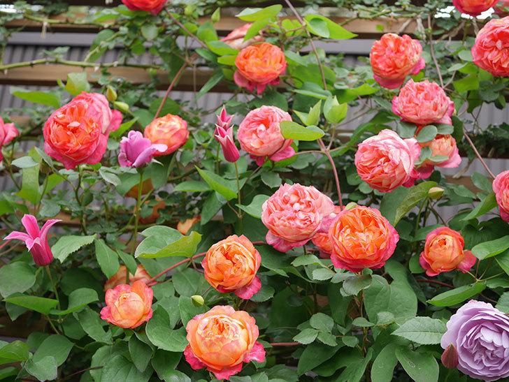 ソレイユロマンティカ(Soleil Romantica)の花がたくさん咲いた。ツルバラ。2021年-189.jpg