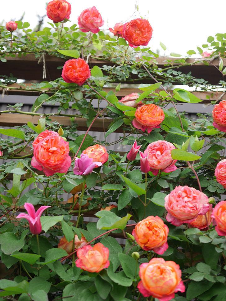 ソレイユロマンティカ(Soleil Romantica)の花がたくさん咲いた。ツルバラ。2021年-192.jpg