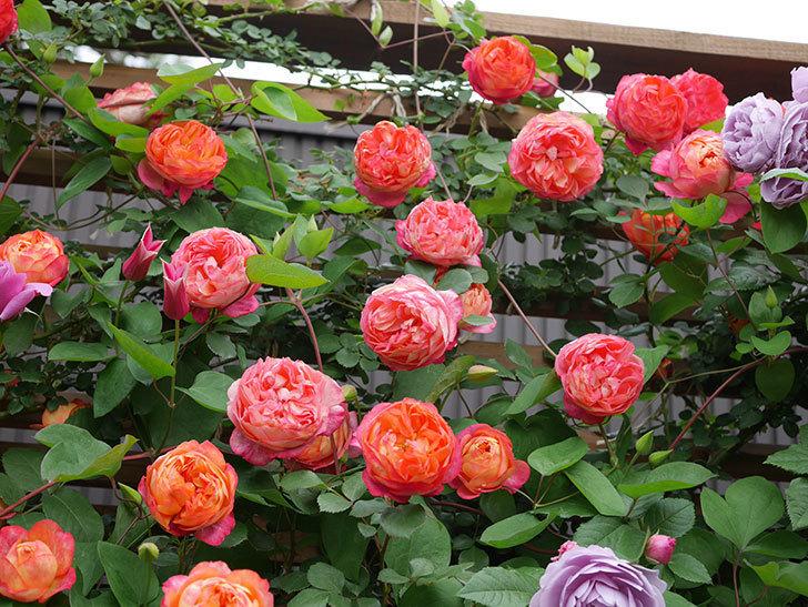 ソレイユロマンティカ(Soleil Romantica)の花がたくさん咲いた。ツルバラ。2021年-193.jpg
