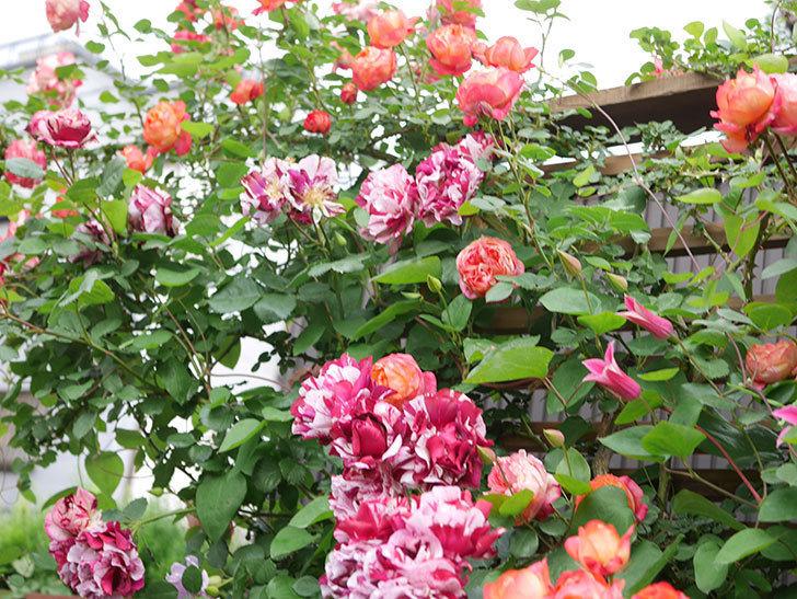ソレイユロマンティカ(Soleil Romantica)の花がたくさん咲いた。ツルバラ。2021年-196.jpg