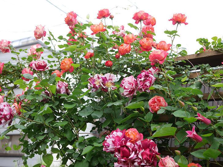 ソレイユロマンティカ(Soleil Romantica)の花がたくさん咲いた。ツルバラ。2021年-197.jpg