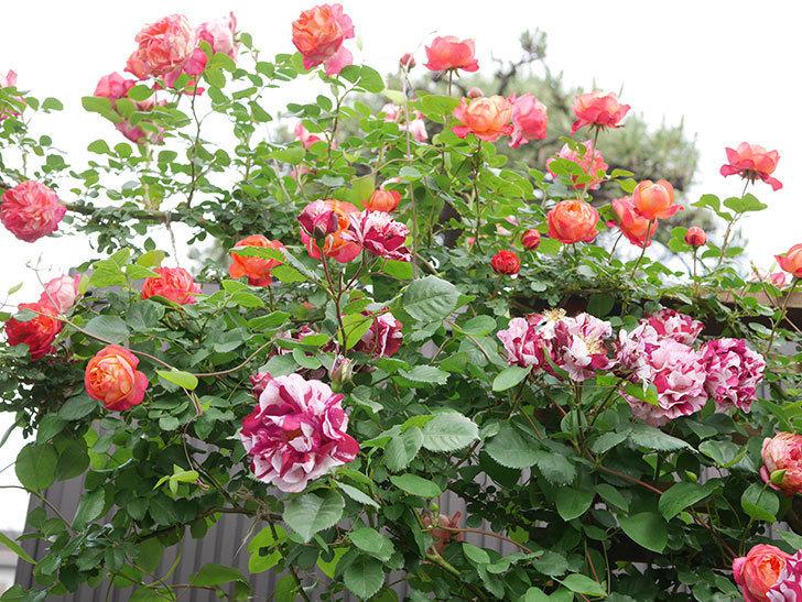 ソレイユロマンティカ(Soleil Romantica)の花がたくさん咲いた。ツルバラ。2021年-198.jpg