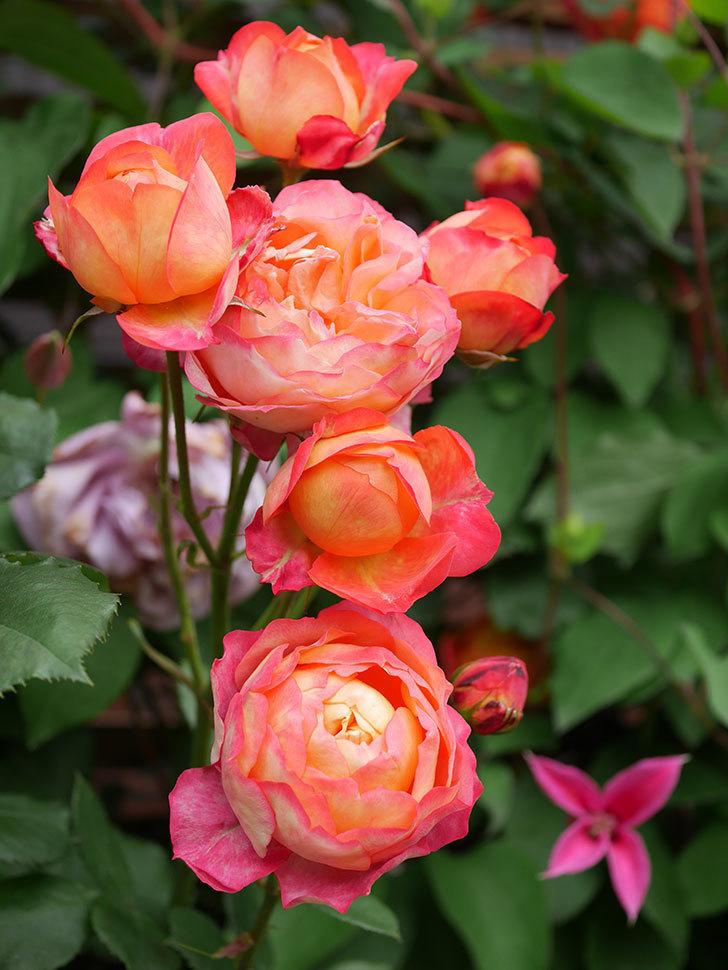 ソレイユロマンティカ(Soleil Romantica)の花がたくさん咲いた。ツルバラ。2021年-199.jpg