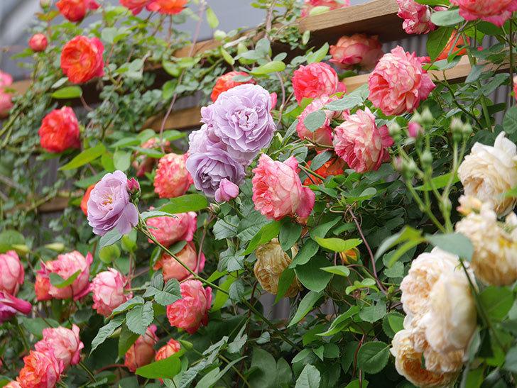 ソレイユロマンティカ(Soleil Romantica)の花がたくさん咲いた。ツルバラ。2021年-200.jpg