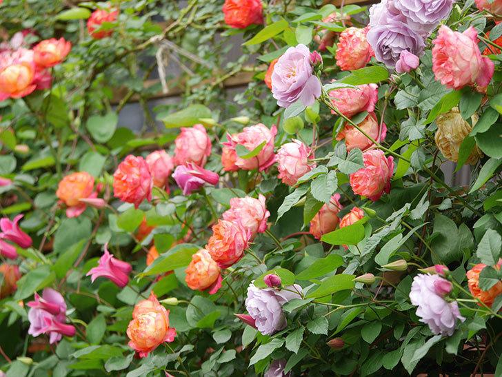 ソレイユロマンティカ(Soleil Romantica)の花がたくさん咲いた。ツルバラ。2021年-201.jpg