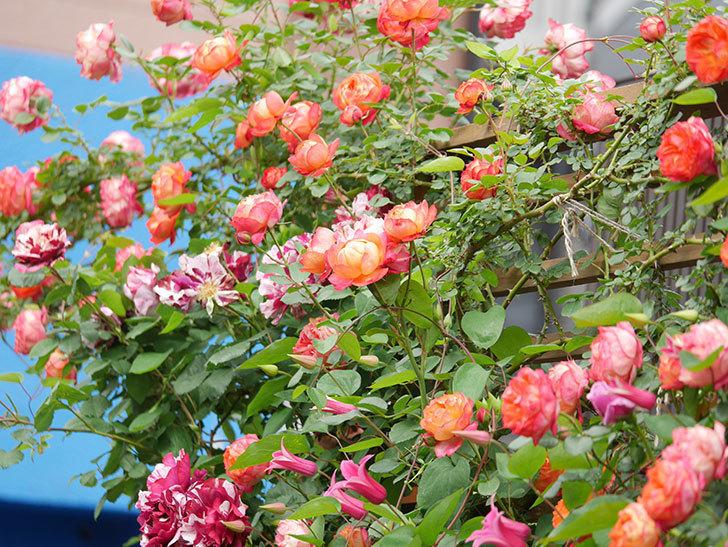 ソレイユロマンティカ(Soleil Romantica)の花がたくさん咲いた。ツルバラ。2021年-202.jpg