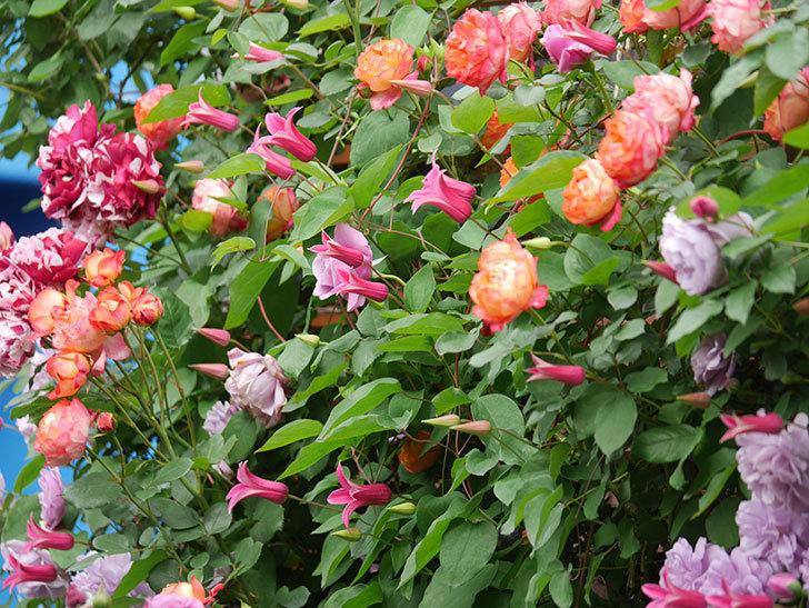 ソレイユロマンティカ(Soleil Romantica)の花がたくさん咲いた。ツルバラ。2021年-203.jpg