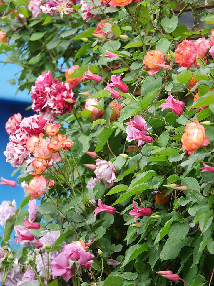 ソレイユロマンティカ(Soleil Romantica)の花がたくさん咲いた。ツルバラ。2021年-206.jpg