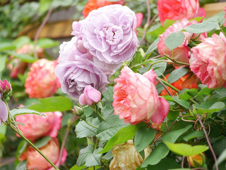 ソレイユロマンティカ(Soleil Romantica)の花がたくさん咲いた。ツルバラ。2021年-207.jpg