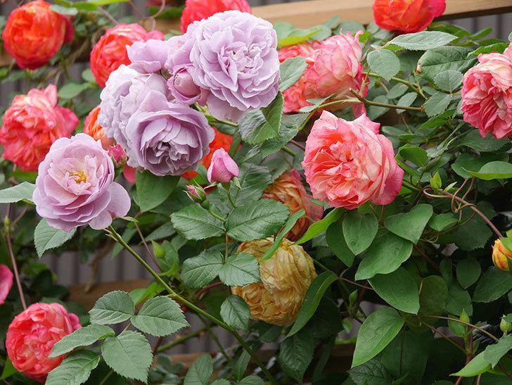 ソレイユロマンティカ(Soleil Romantica)の花がたくさん咲いた。ツルバラ。2021年-212.jpg