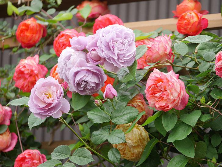 ソレイユロマンティカ(Soleil Romantica)の花がたくさん咲いた。ツルバラ。2021年-213.jpg