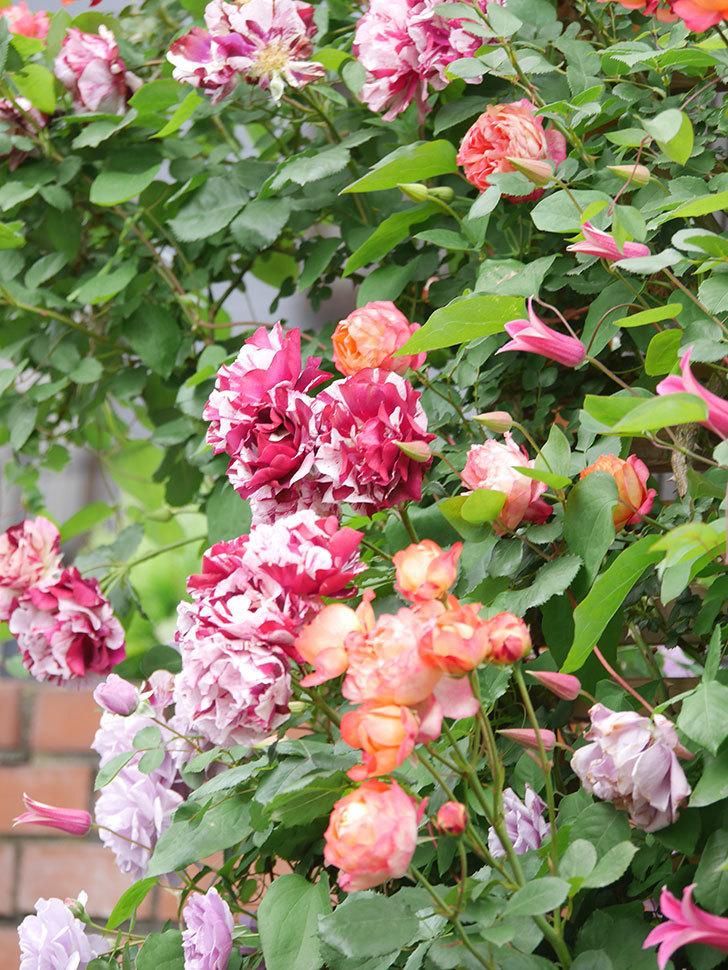 ソレイユロマンティカ(Soleil Romantica)の花がたくさん咲いた。ツルバラ。2021年-214.jpg